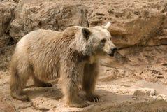 сиец медведя коричневый Стоковые Изображения RF
