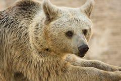 сиец портрета медведя коричневый Стоковые Изображения RF