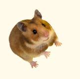 сиец mesocricetus хомяка goldhamster auratus Стоковая Фотография RF