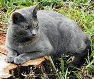 Сизоватый кот стоковая фотография
