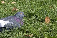 Сизоватый спокойный городской голубь отдыхая на траве стоковое фото