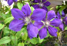 Сизоватый фиолетовый clematis стоковое фото