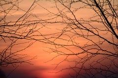 Силуэты ветвей дерева на времени захода солнца Стоковая Фотография