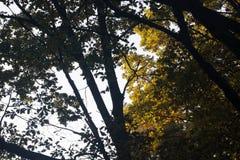 Силуэты ветвей дуба падения против неба Стоковые Фотографии RF