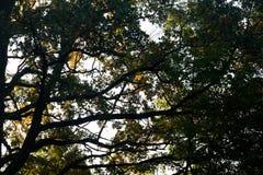 Силуэты ветвей дуба падения против неба Стоковые Изображения RF