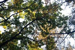 Силуэты ветвей дуба падения против неба Стоковая Фотография