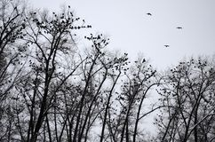 Силуэты ворон сидя на деревьях стоковая фотография