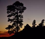 Силуэты канереечных сосен на наступлении ночи Стоковая Фотография
