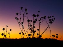 Силуэты солнцецвета в заходе солнца юго-запада стоковые изображения rf