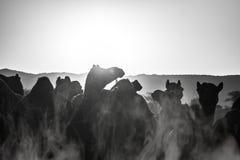 Силуэт верблюда в Pushkar, Mela Стоковая Фотография
