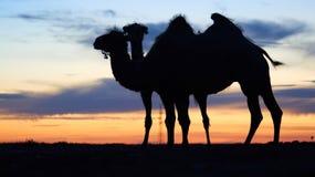 Силуэт верблюда Стоковые Изображения