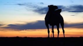 Силуэт верблюда Стоковые Фото