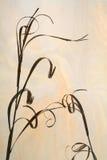 силуэт высушенной травы Стоковая Фотография