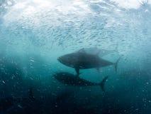 Силуэт голубого тунца и baitfish, Корнуолл стоковые изображения rf