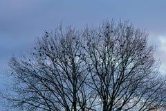 Силуэт гребня дерева с птицами против неба вечера Стоковые Фото