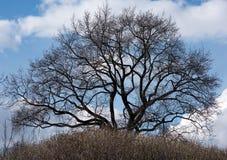 Силуэт дерева с замоткой разветвляет без листьев Стоковое Изображение RF