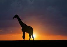 Силуэт жирафа Стоковое фото RF
