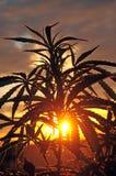 Силуэт завода конопли в раннем утре, растя outdoors Стоковое Изображение RF