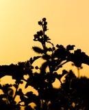 Силуэт завода на золотом заходе солнца Стоковые Фотографии RF