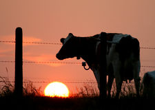 силуэт коровы Стоковое Фото