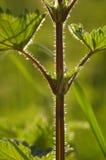 силуэт крапивы Стоковые Изображения RF