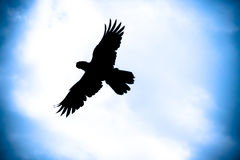 силуэт летания птицы Стоковые Фото