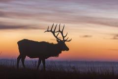Силуэт лося на восходе солнца Стоковые Фото