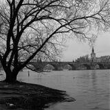 Силуэт нагого дерева рекой Влтавой на восходе солнца, с Карловым мостом на заднем плане стоковое фото