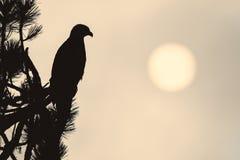 силуэт облыселого орла Стоковое Фото