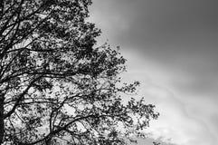 Силуэт обнажённого дерева евкалипта в черно-белом Стоковые Фотографии RF