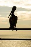 силуэт пеликана стоковое изображение