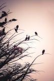 Силуэт птиц баклана Стоковые Фотографии RF
