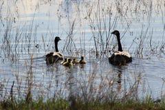 Силуэт семьи канадских гусынь плавая прочь Стоковое Изображение