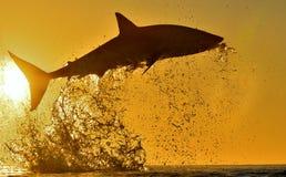 Силуэт скакать большая белая акула на предпосылке неба восхода солнца красной Carcharias Carcharodon пробивая брешь в нападении З Стоковая Фотография RF