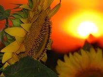 Силуэт солнцецвета на предпосылке красного захода солнца Стоковая Фотография