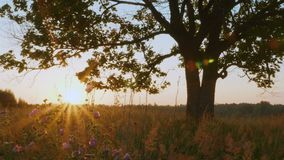 Силуэт старого клена против осеннего восхода солнца акции видеоматериалы