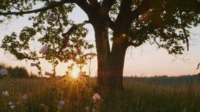 Силуэт старого клена против осеннего восхода солнца видеоматериал