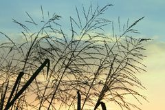 Силуэт тростника цветет на красивой предпосылке облачного неба стоковое изображение