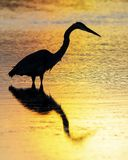 Силуэт цапли большой сини wading в пруде - Флориде Стоковое фото RF