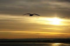 Силуэт чайки в мухе Небо захода солнца Стоковое Изображение RF