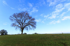 Силуэт beatitfully форменного высокорослого чуть-чуть дерева на зеленом холме против голубого неба Стоковое Фото