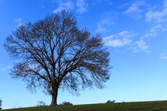 Силуэт beatitfully форменного высокорослого чуть-чуть дерева на зеленом холме против голубого неба Стоковые Фото