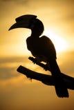 силуэт hornbill Стоковая Фотография