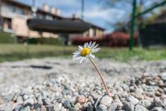 Сильная и отважная маргаритка растя среди камней стоковая фотография rf
