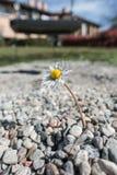 Сильная и отважная маргаритка растя среди камней стоковое изображение