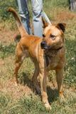Сильная коричневая собака идя outdoors в парк, смешанные разведенные wi собаки Стоковое фото RF