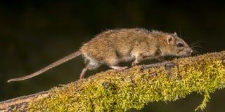 Сильная одичалая крыса Брайна на ноче стоковые фотографии rf
