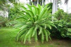 Сильнорослое revoluta Cycas дерева также вызвало ладонь саго, саго короля, саговник саго Стоковая Фотография