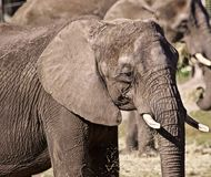 Сильнорослый слон стоковые изображения rf