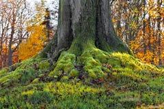 Сильные корни старого вала. Стоковые Фотографии RF